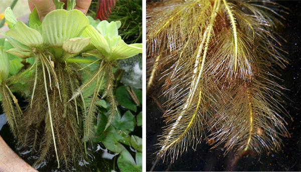 Feathery roots hang down from the base of the floating plants.