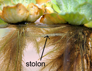 Water lettuce reproduces vegetatively by producing new rosettes on the ends of stolons.
