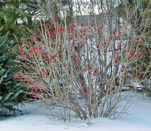 Fruits on a viburnum add color in winter.