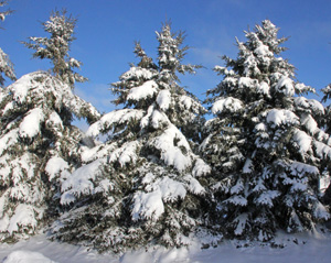 Evergreeb conifers are an obvious choice to add winter interest for their color and form.