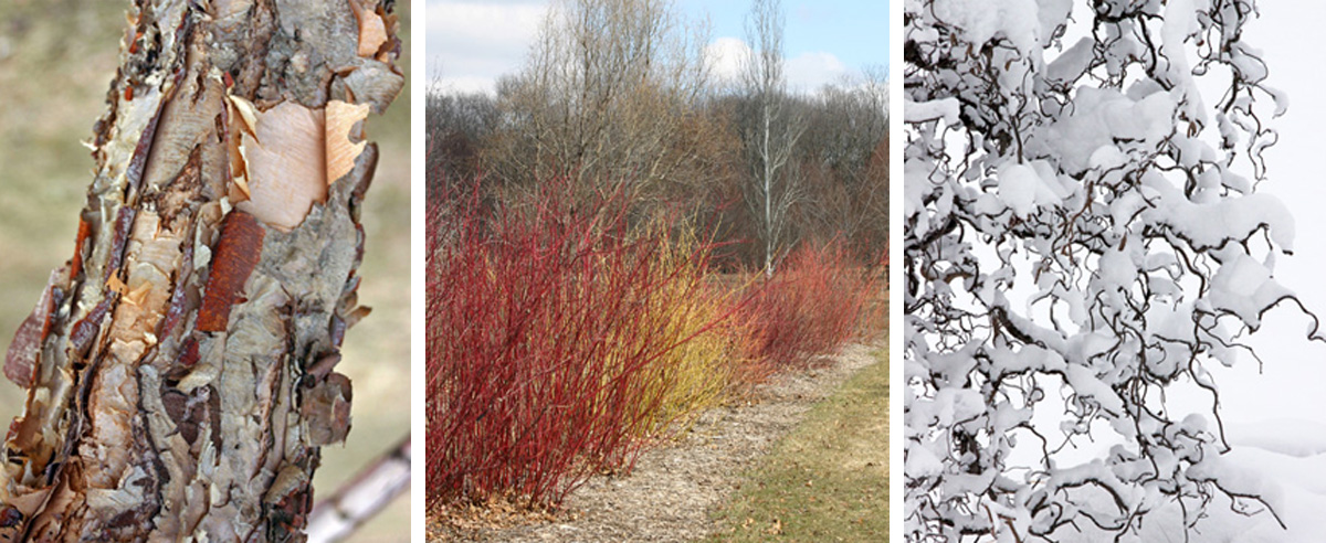 Features of deciduous plants that are more apparent in winter include peeling bark of a river birch (Betula nigra) (L), red or yellow stems of dogwoods (Cornus spp.) (C), and contorted branches of Harry Lauders walking stick (Corylus avellana Contorta) covered in snow (R).