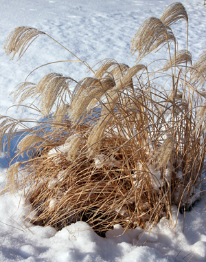 Leave sturdy ornamental grasses, such as this MIscanthus, standing for their structure and movement in the landscape.