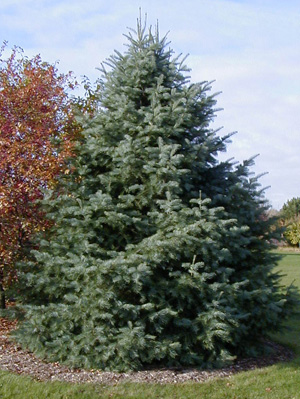 Evergreen trees generally do not need pruning, but if necessary should be done in spring or summer.