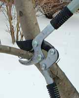 Clean, sharp implements make pruning easier.
