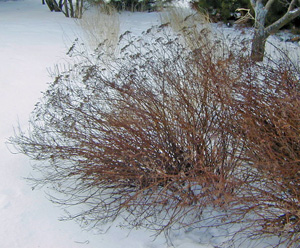 Spirea in need of pruning.