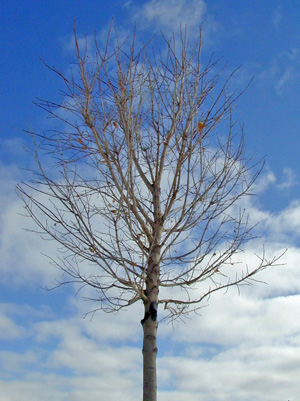 A deciduous trees structure is more apparent when leafless.
