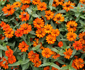 Profusion Orange zinnia