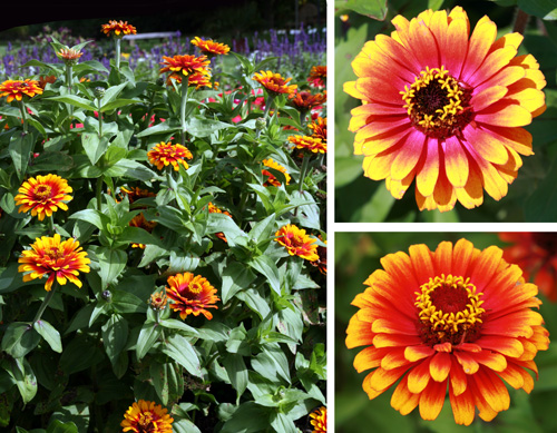 Zowie! Yellow Flame zinnia plant and flowers (young - top; older - bottom)