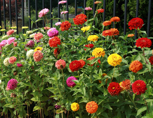 Zinnias come in a wide range of colors