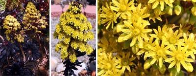 A. arboreum Schwartzkopf flowering.