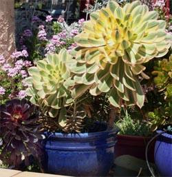 Aeonium decorum 'Sunburst