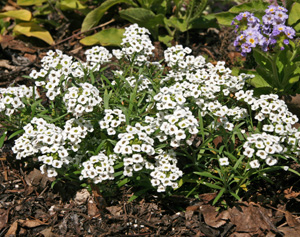 Sweet alyssum can be used as a seaonal ground cover.