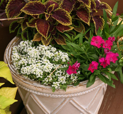 Alyssum is frequently used as a filler in containers or to cascade down the planters edge.