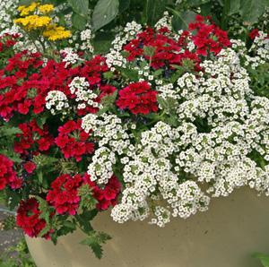 Sweet Alyssum Lobularia Maritima Master Gardener Program