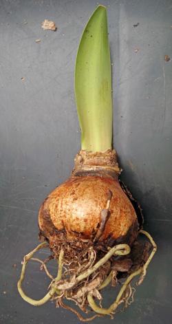 Amaryllis bulb growing before repotting.