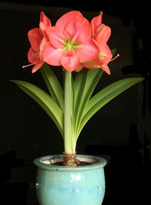 Amaryllis Hippeastrum Master Gardener Program