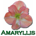 Amaryllis, Hippeastrum Title Image