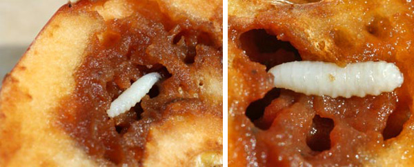 Apple maggots are pale colored and about 3/16 long when fully grown.