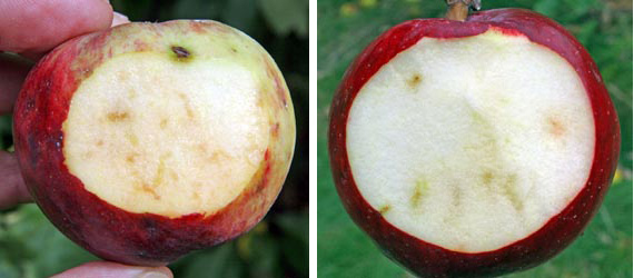 Early in an infestation of apple maggot, the fruit may appear relatively sound, with just a few faint brown trails.
