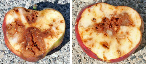 Eventually, the fruit become substantially rotted when infested by apple maggot.