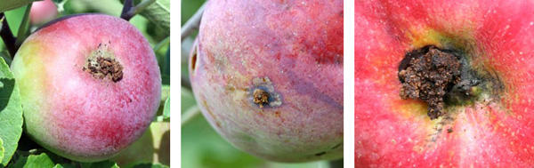 Codling moth waste material (frass) may accumulate at the surface of the fruit, often at the flower end.