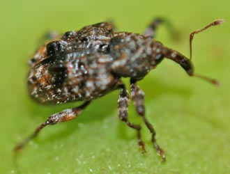 The adult plum curculio is a bit less than ¼ long, mottled brown, bumpy, and with a distinct snout.