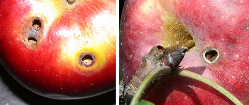 Late in the growing season, adult plum curculios chew round holes in apples, often near the stem end of the fruit. L photo by Phil Pellitteri.
