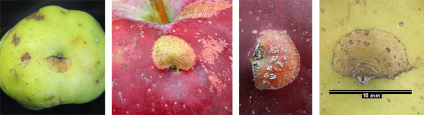 These surface scars were created early in the season when the fruit were small. As the fruit grew, so did the scars.