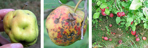 These apples (L and C) are typical representatives of the quality of fruit that can occur if the trees are not protected from pest and disease problems throughout the year. Apples that drop from the tree prematurely (R) may be infested with insects such as codling moth and apple maggot.