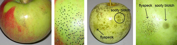 Flyspeck (circular areas of small black spots) and sooty blotch are caused by various types of fungi. Symptoms are on the surface of the fruit and the fruit are safe to eat. Photos by Patty McManus.