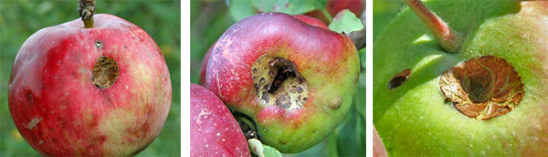 These three apples were damaged by caterpillars such as leafrollers or fruitworms early in the growing season. Generally with such damage, the majority of the apple remains useable.