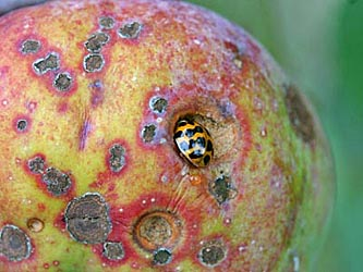 Multicolored Asian lady beetles will take advantage of already-damaged fruit but generally are not the cause of open wounds. The remainder of damage to this apple is from the apple scab fungus.