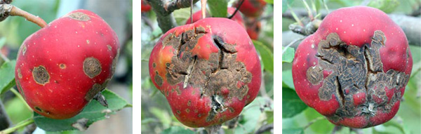 The apple scab fungus can result in small, smooth grey lesions or heavier damage that results in fruit splitting.