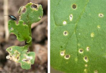 Flea beetle on arugula seedling (L); shot hole damage of flea beetle feeding (R).
