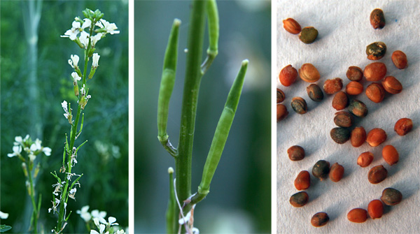 The seed pods forming on the still-blooming flower stalk (L), young seed pods (C) and seeds (R).