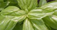 Harvest basil by pinching or cutting terminal shoots.