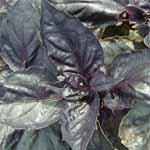 Purple basil.