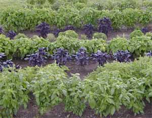 Basil is easily grown from seed.