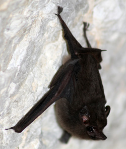 A bat hangs out in a cave in Brazil.
