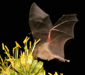 A long-nosed bat feeds on agave flowers in Bonaire, Netherlands Antilles.