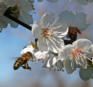 A honeybee approaches an apricot flower.