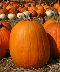 Pumpkins are just one of many crops that rely on insect pollination.