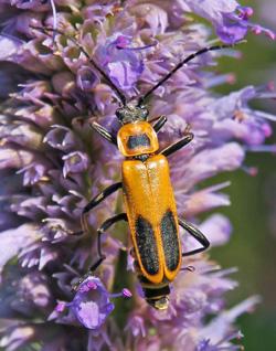 Goldenrod solider beetle.