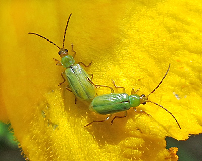 Northern corn rootworms on a squash flower.