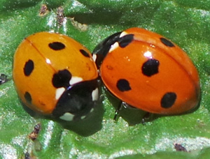 The lady beetles are a large group of mostly predatory species.