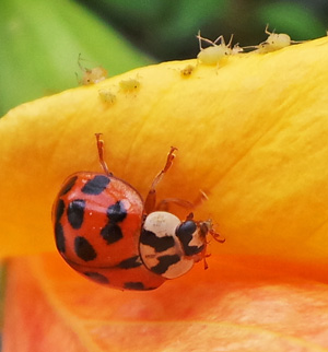 A multicolored Asian ladybeetle preys on aphids on a flower.
