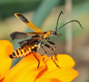 A soldier beetle lifts its elytra in order to use its hind wings to fly.