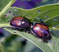 Japanese beetles.