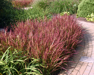 Red-leaved Japanese bloodgrass.