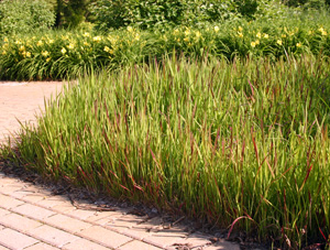 Imperata cylindrica is a noxious weed in many areas, but certain cultivars are grown as ornamental grasses in gardens.